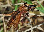 Asilus crabroniformis - Hornissenraubfliege
