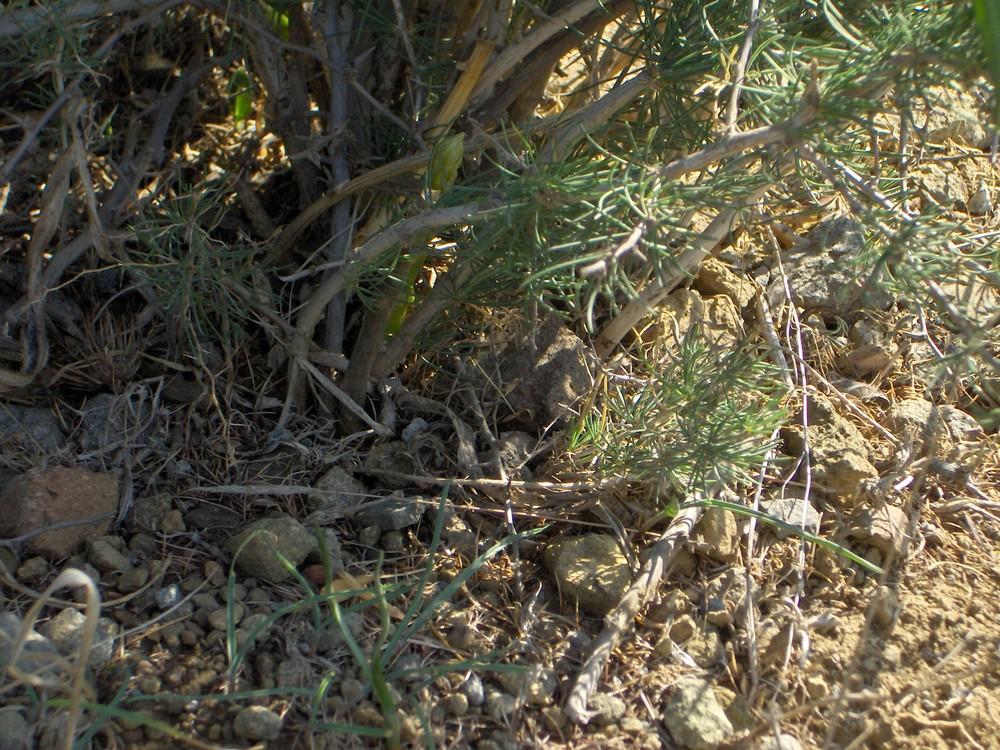 asparago selvatico
