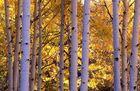 Aspen im Herbst