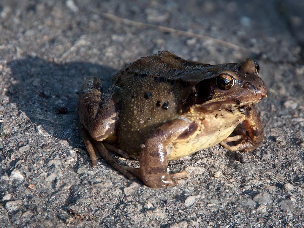 Asphalt-Frosch