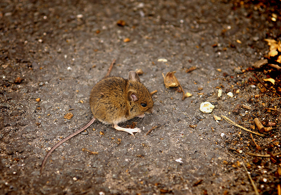 Asphalt Mäuschen ohne Tarnung