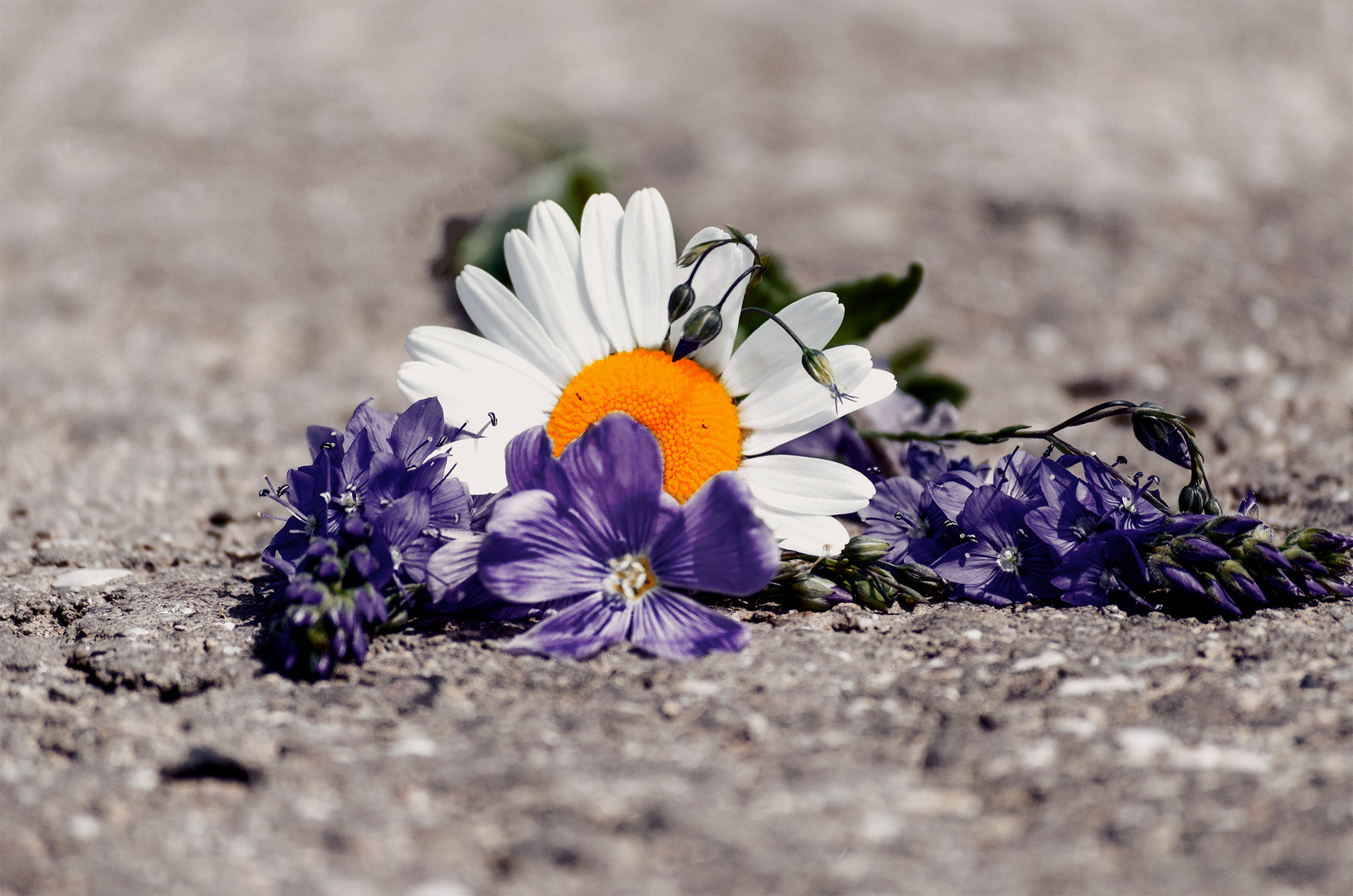 Asphaltflower