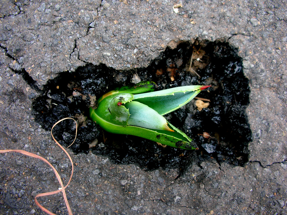 Asphaltpflanze