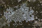 Aspicilia contorta (Verwechselte Aspicilie