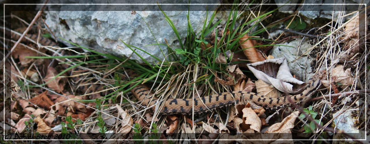 Aspisviper Vipera a.aspis Nordjura 2010