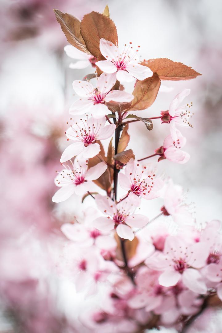 Ast einer Blutpflaume in voller Blüte