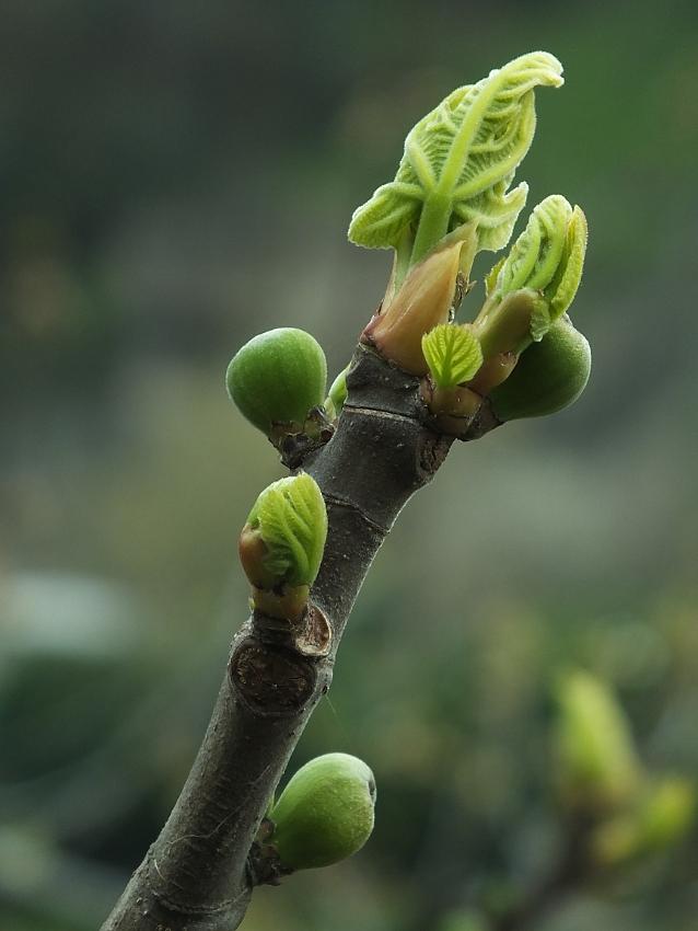 ast vom feigenbaum foto bild pflanzen pilze flechten b ume blatt bl te bilder auf. Black Bedroom Furniture Sets. Home Design Ideas