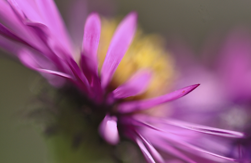 Aster #3