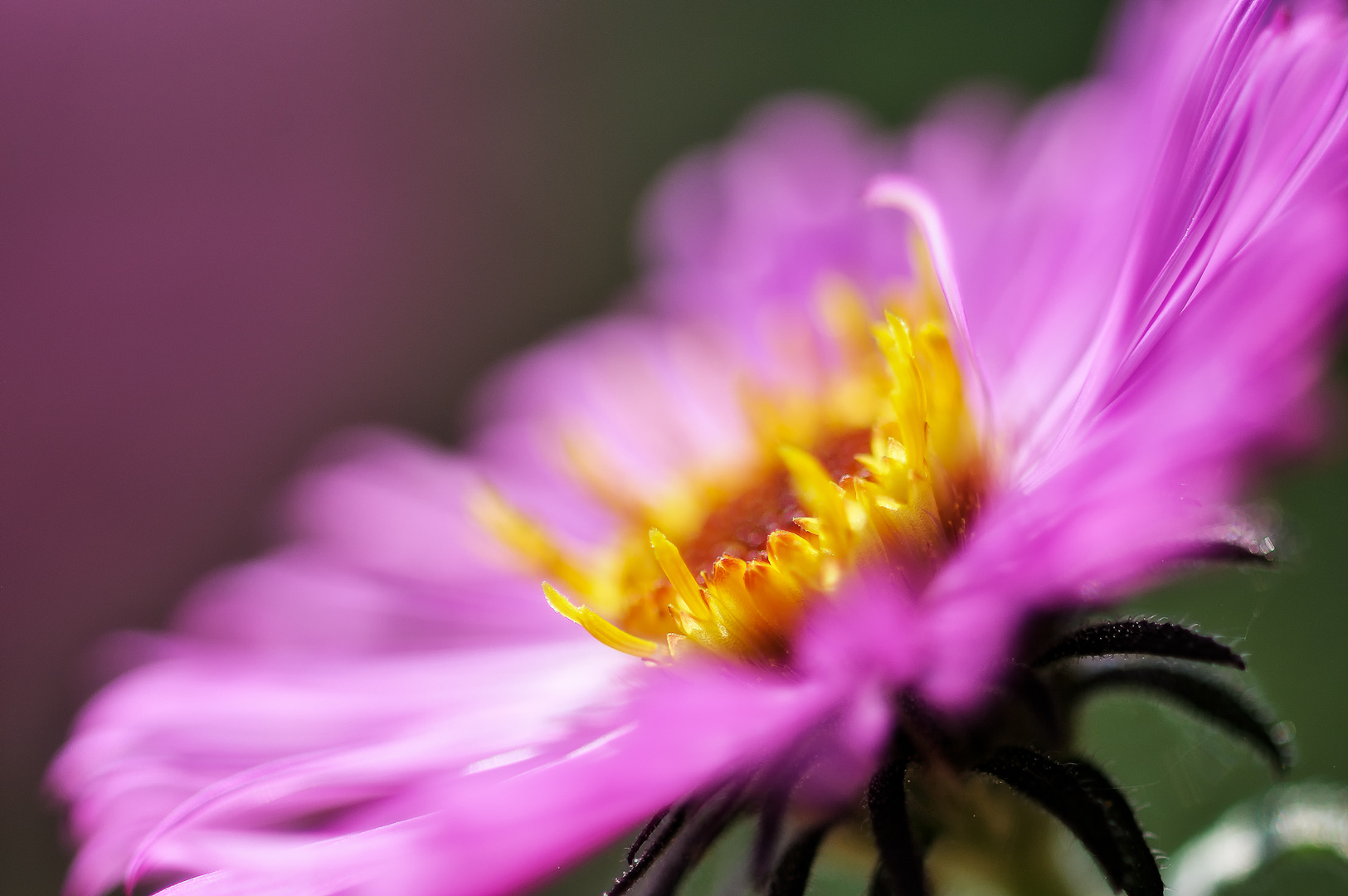 Aster #5