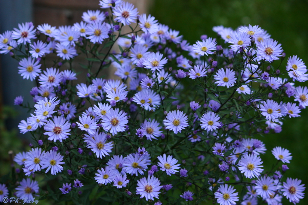 ASTERS AU JARDIN