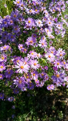 Asters... D'automne...