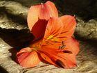 Astromelia (Alstroemeria spp.) caida