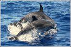 Atlantic Spotted Dolphin - Delfinweibchen mit Nachwuchs