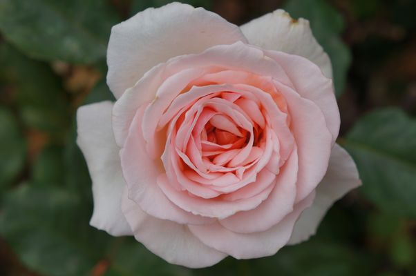 Atlantische Rose