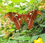 Atlasfalter ( Attacus atlas)