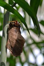 Atlasfalter beim schlüpfen