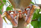 Atlasspinner (Attacus atlas)