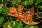 Atlasspinner (Attacus atlas) - I