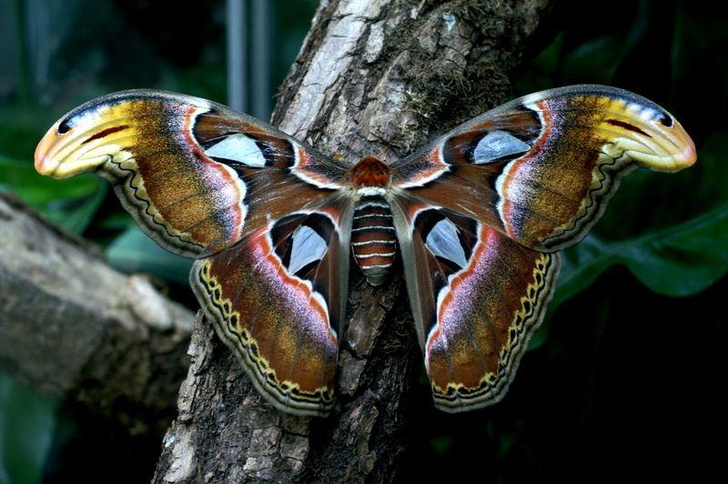 Atlasspinner breitet seine Flügel aus