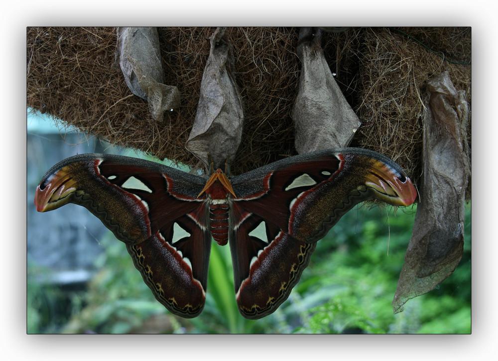 Atlasspinner größter Schmetterling der Welt