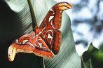 Atlasspinnermännchen an Bananenblatt