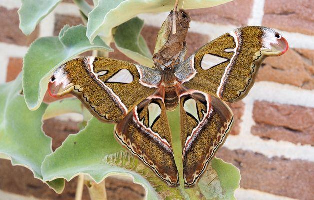 Attacus caesar Weibchen