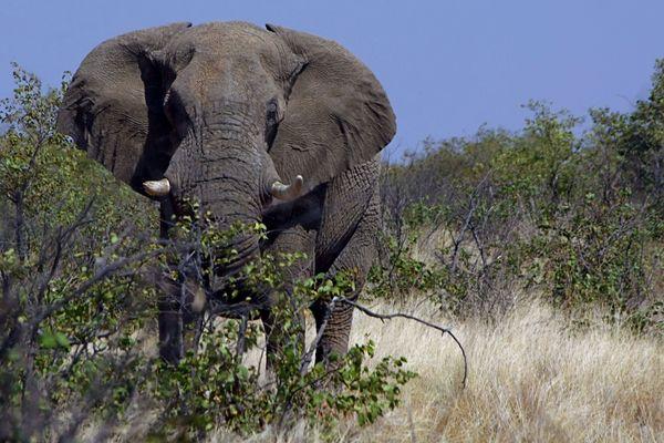 Attention éléphant droit devant!