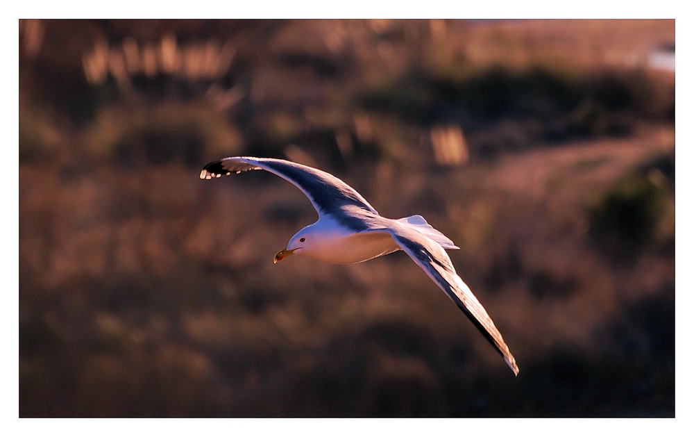 Attention Goëland en vu !!!