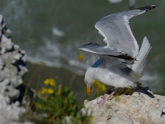 Atterrissage au Cap Blanc Nez