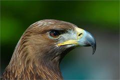 Attila :: Ein Adler aus Klein-Auheim