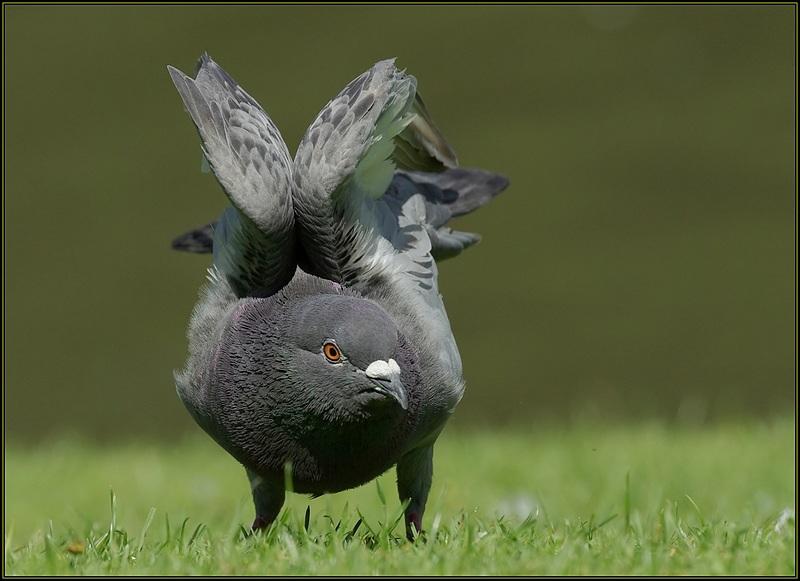 Attitude de pigeon
