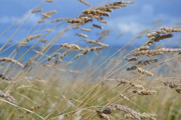 Au blé du vent