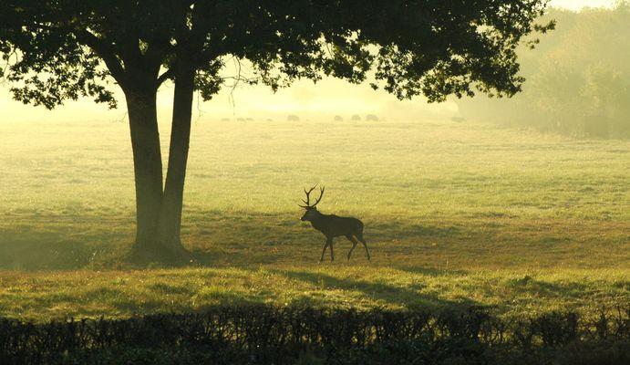 Au brame du cerf - Forêt de CHAMBORD -