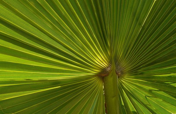au coeur de la feuille de palmier