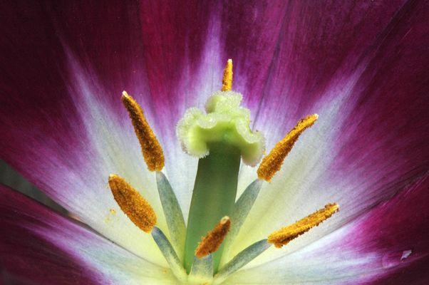 Au coeur de la tulipe