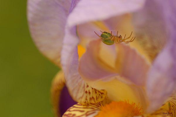 Au coeur d'un iris