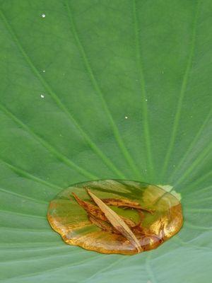 au creux d'un lotus