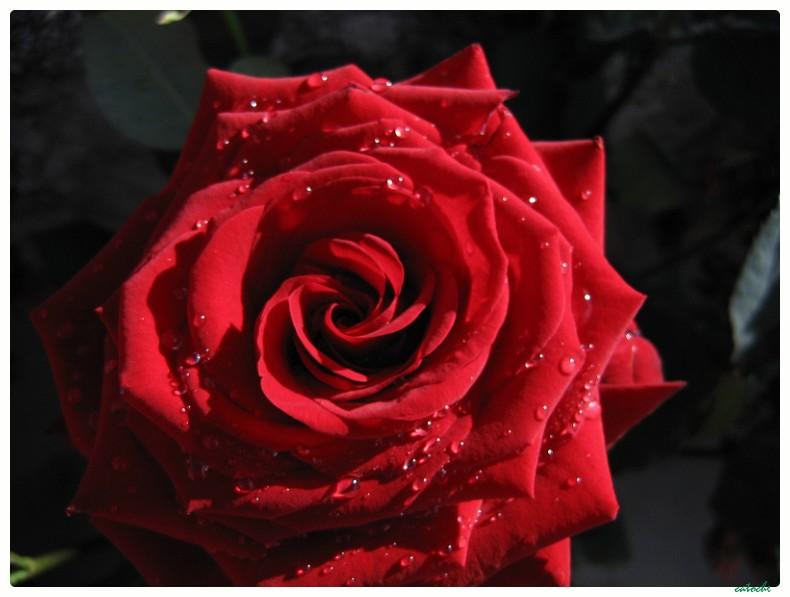 au matin, une rose