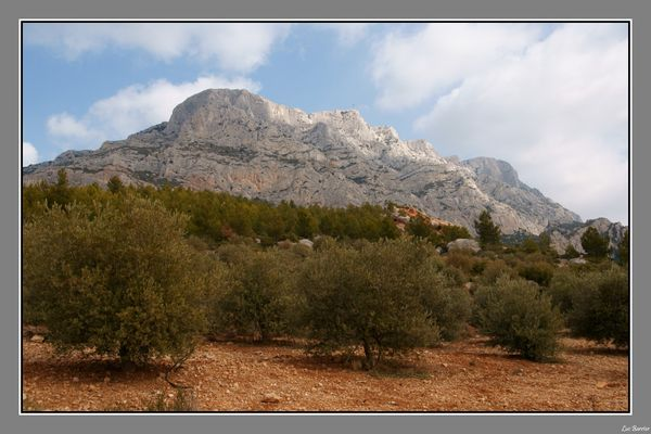 Au pays de Cezanne, la Ste Victoire et ses oliviers
