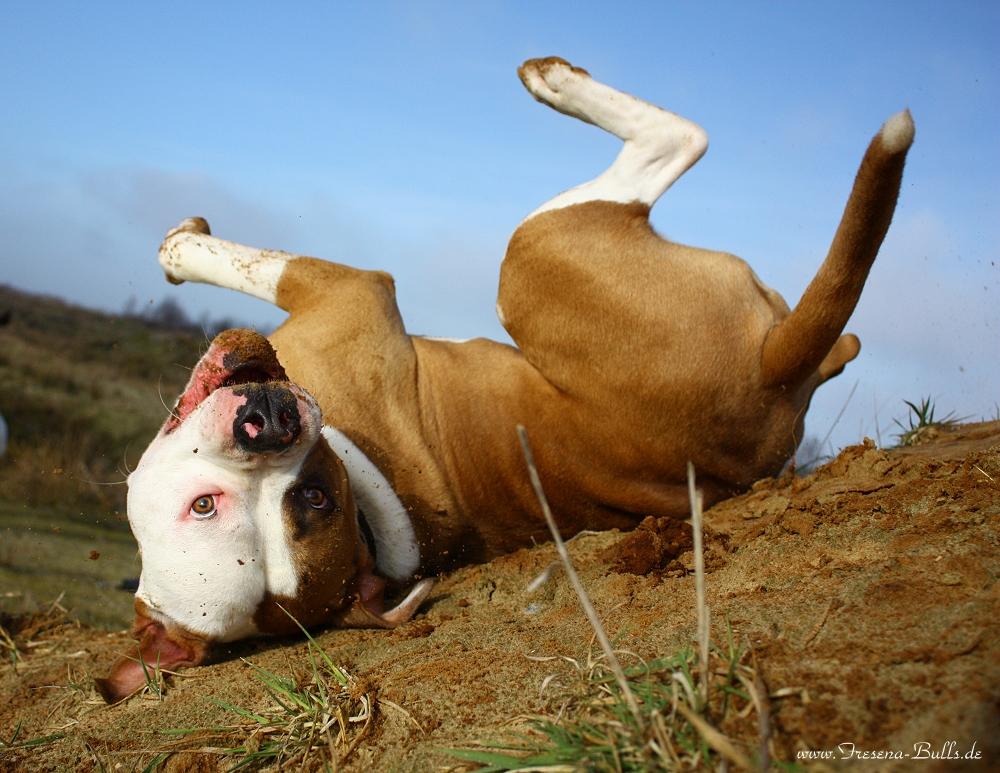 Auch American Bulldogs sind albern! :-)