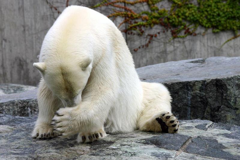Auch Bären schämen sich...