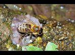 Auch Bienen haben Durst....
