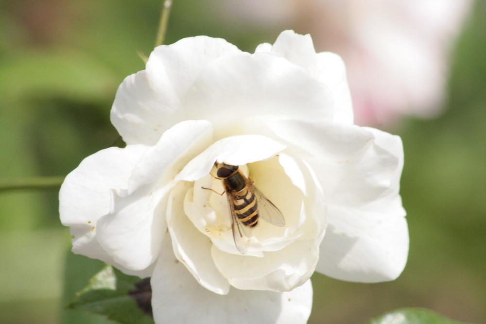 auch Bienen haben Hunger