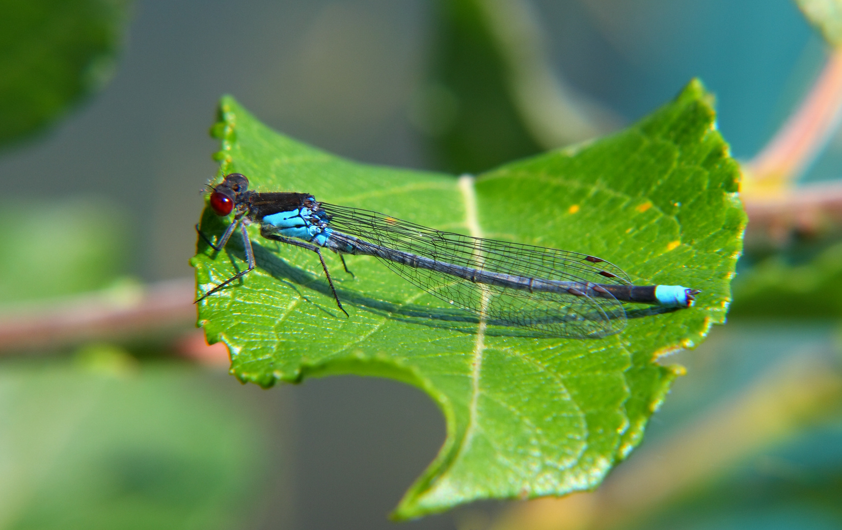 Auch blaue Libellen brauchen mal ne lila ähh... grüne Pause