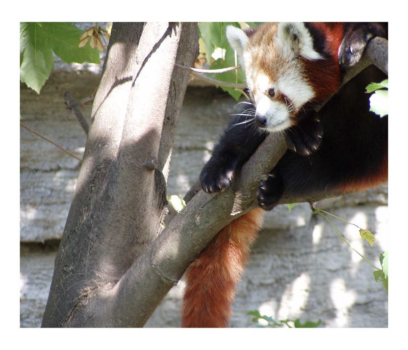 Auch das soll ein pandabärchen sein, denke allerdings eine andere art - das