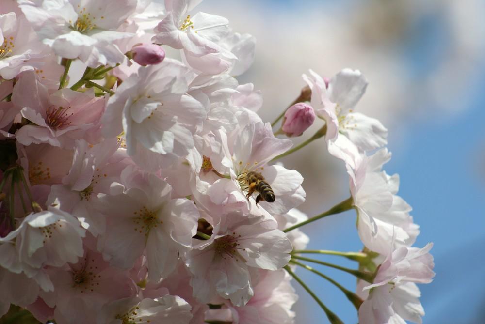 Auch die Bienen freuen sich über die tolle Blüte der Zierkirsche
