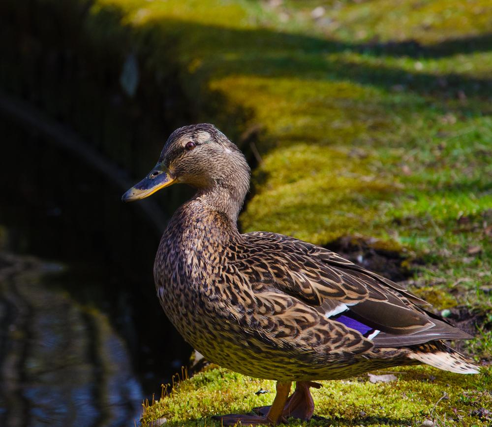 Auch die Enten genießen den Frühling...