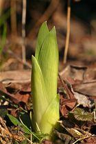 Auch die Iris schießt jetzt aus dem Boden - ganz schnell wachsen die fein geäderten . . .