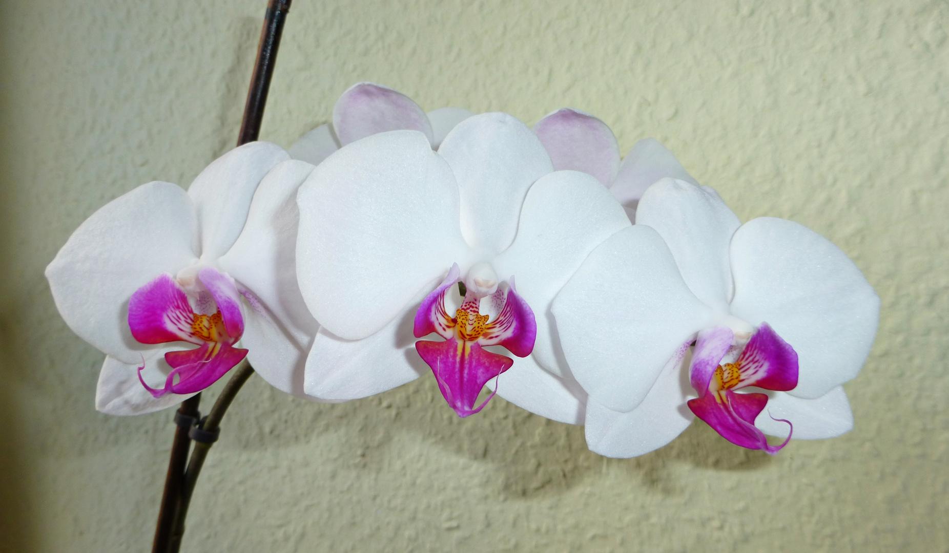 Auch die Orchideenblüten wachsen uns immer wieder zur Freude