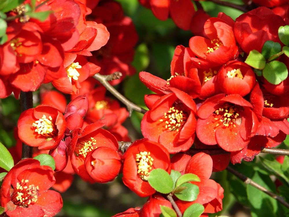 Auch die Quitten zeigen ihre wunderbaren intensiv leuchtend-roten Blüten